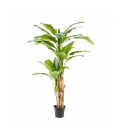 Árbol Platanero MULTITRONCO