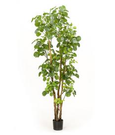 Árbol ARALIA de 195 cm