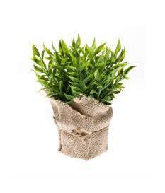 Arbusto RUSCUS